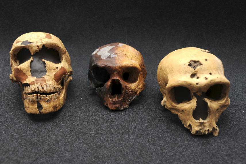 craneos_neandertal_sidron
