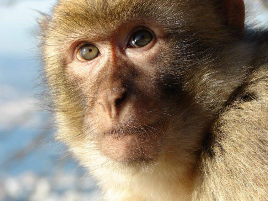 macaco_gibraltar